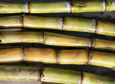 Grow sugar cane in your own backyard