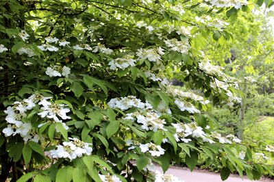 White viburnum flowers blooming in a garden.