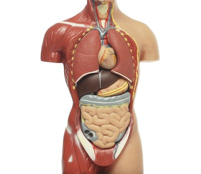 How Long Is the Human Digestive Tract?