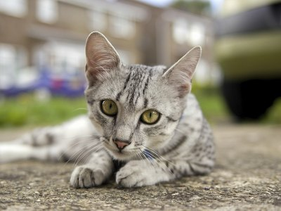 A Egyptian Mau lying on concrete