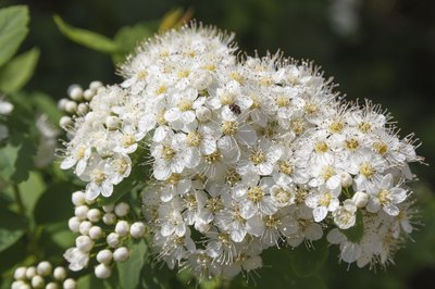 Sweet viburnum flowers.