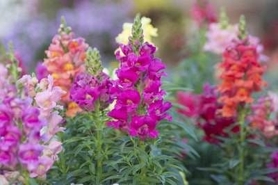 Colorful snapdragon flowers in bloom