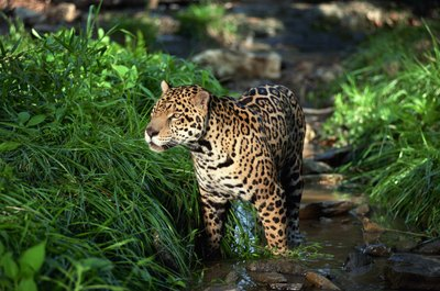a predatory jaguar in the rain forest