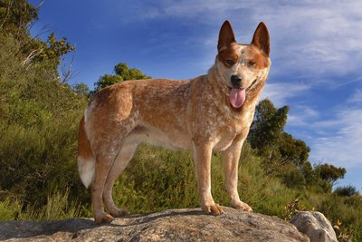 An Australian cattle dog perched on a rock.