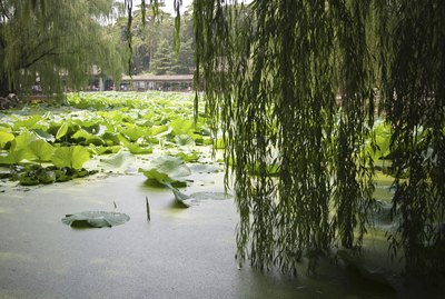 Corkscrew willow branches hang over the edge of a pond with lilypads.