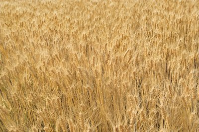 A field of wheat.