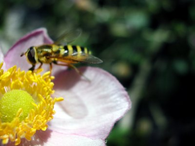 A wasp pollinates a flower.