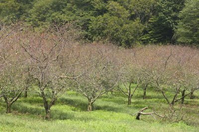 An old cherry orchard.