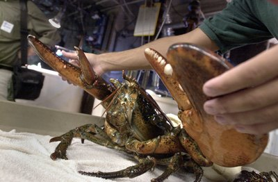 Aquarium staff restrains a sixteen pound lobster caught off the coast of Massachusetts