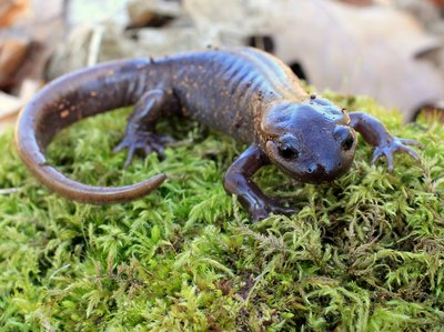 amphibians like the salamander are able to walk on land