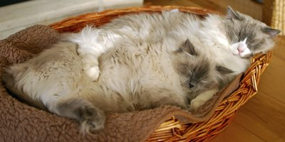 Two ragdoll cats sleeping in a basket.