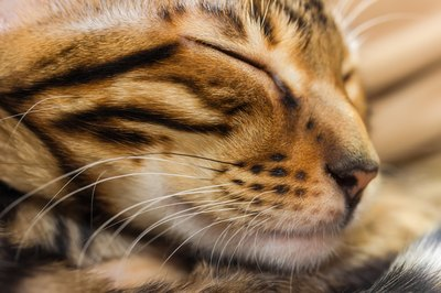 Face of a toyger sleeping