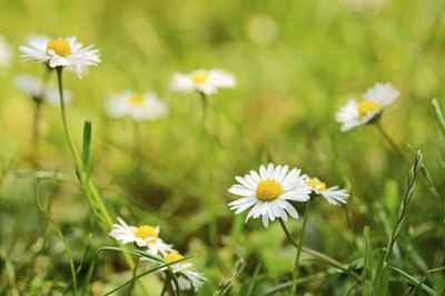 English daisies growing in field
