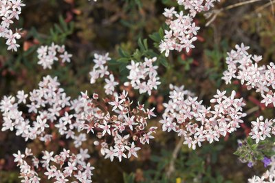 Pale pink blooms of white stonecrop growing in clusters.