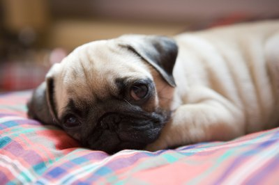 Pug resting on a pillow.