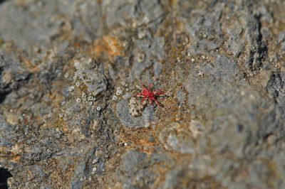 A close-up of a red spider mite on a mossy rock.