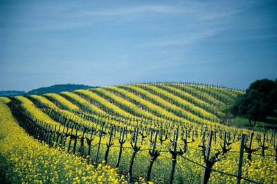 When visiting Napa Valley, visit the local vineyards.