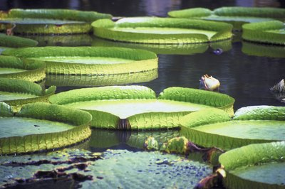 The leaves of the Amazon water lily can grow more than eight feet across.