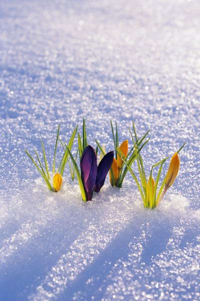 Flowers peeking through the snow bring promise for the spring.