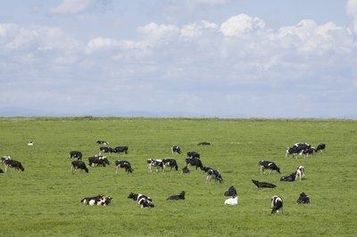 Cows grazing in a pasture.