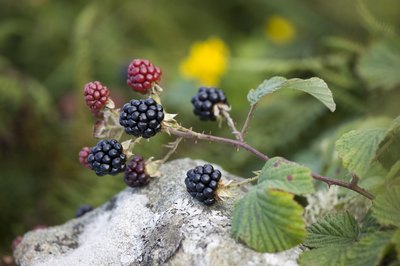 blackberry branch
