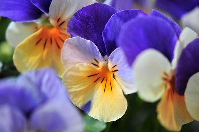 Viola tricolors, the traditional Victorian-era pansy, are also known as Johnny Jump-Ups.