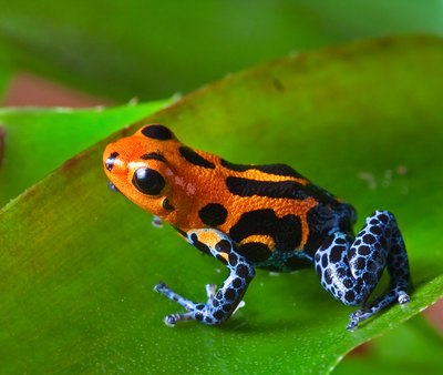 the poison dart frog makes its home in the rain forest