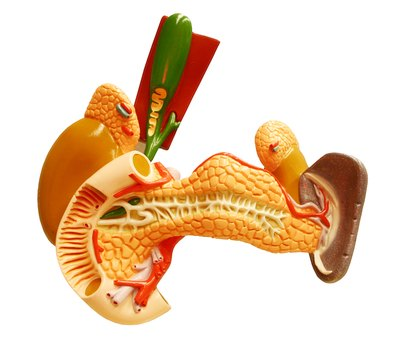 Model of the human spleen.