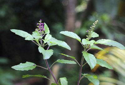Tulsi is also known as tulasi and holy basil.