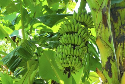 A bunch of green bananas growing on a tree.