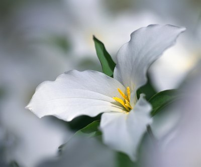 White Trillium is one of many flowers in the rainforest used for medicinal purposes.