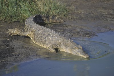 saltwater crocodile getting into water