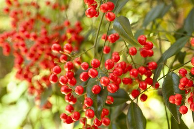 Berries on a nandina bush.
