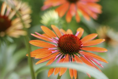 Echinacea is find in detox teas.