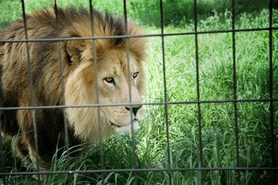 lion in zoo cage