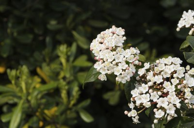 The small, white flowers of a Viburnum tinus.