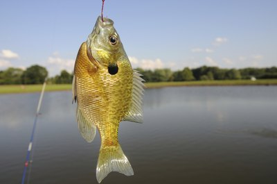 Sunfish caught on fishing line