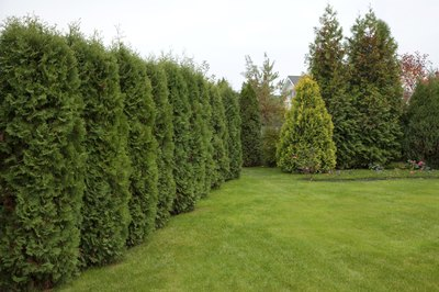 Red cedar shrubs lining the perimeter of a lawn.