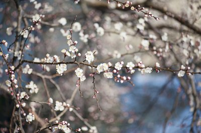 Close-up of apricot tree flowers during the winter.