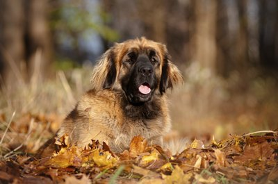 Mastiff with beautiful coat lying in leaves