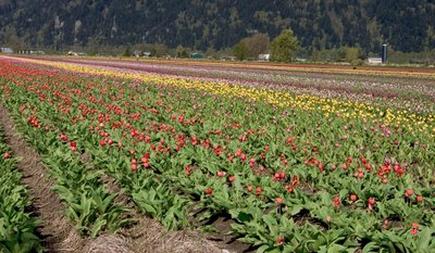 Tulup flower farm in Chilliwack