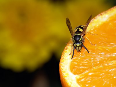 Wasp on orange