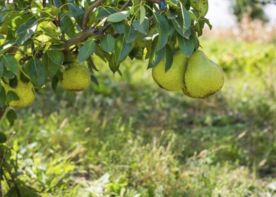 Closeup of fresh pears hanging from a tree branch.