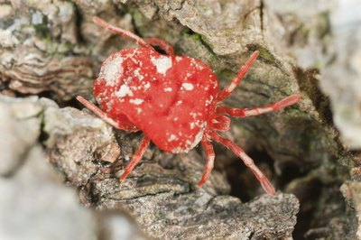 small mite on bark