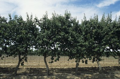 Apricot trees growing in orchard.