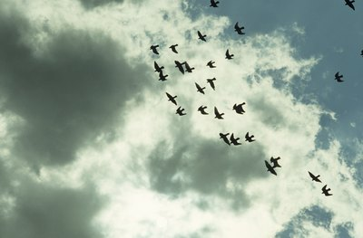 A flock of birds flying in the sky.