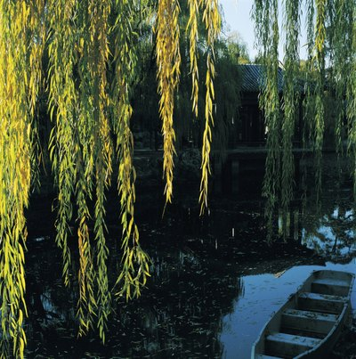 A wooden boat is anchored beneath the branches of a corkscrew willow tree.