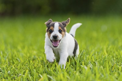 Puppy running on grass field