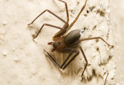 The brown recluse is smaller than the black widow.