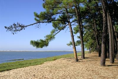 Pine trees along lake side